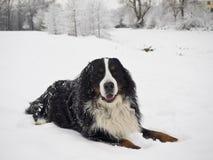 Perro de montaña de Bernese Fotografía de archivo