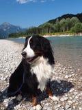 Perro de montaña de Bernese Imagen de archivo