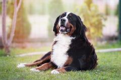 Perro de montaña de Bernese al aire libre Fotografía de archivo