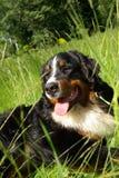 Perro de montaña de Bernese cansado Foto de archivo