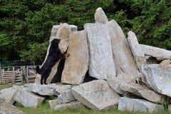 Perro de montaña de Bernese como perro de la búsqueda en la acción Fotos de archivo