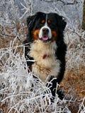 Perro de montaña de Bernese en invierno Imagen de archivo libre de regalías