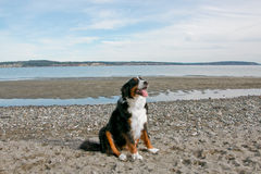 Perro de montaña de Bernese feliz en la playa Imágenes de archivo libres de regalías
