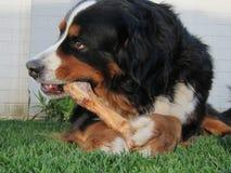 Perro de montaña de Bernese que mastica el hueso Imagenes de archivo