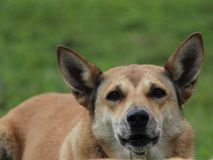 Perro de Nueva Guinea Fotos de archivo libres de regalías