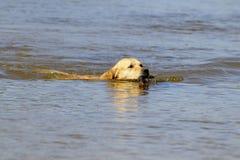 Perro de oro Foto de archivo libre de regalías