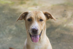 Perro de oro Imagen de archivo libre de regalías