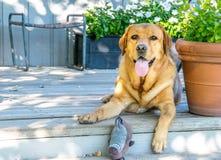 Perro de oro del laboratorio en el saludo del pórche de entrada con el juguete foto de archivo
