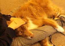 Perro de oro en el revestimiento del dueño Foto de archivo libre de regalías