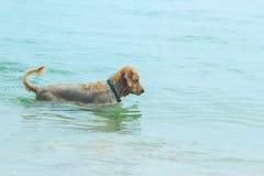 Perro de oro que camina en el mar Foto de archivo