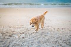 Perro de oro que camina en la playa en la puesta del sol Fotos de archivo