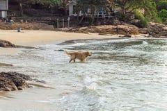 Perro de oro que camina en la playa en la puesta del sol Imágenes de archivo libres de regalías