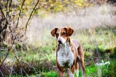 Perro de ovejas Fotografía de archivo libre de regalías