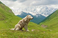 Perro de ovejas caucásico para el guardia del ganado Imagen de archivo