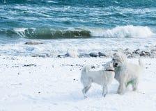 Perro de ovejas del samoyedo y del ruso Foto de archivo libre de regalías