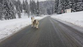 Perro de ovejas en el camino del invierno Imagen de archivo libre de regalías