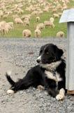 Perro de ovejas en granja Imagenes de archivo
