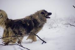 Perro de ovejas grande en la nieve Foto de archivo