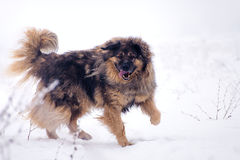 Perro de ovejas grande en la nieve Imagen de archivo libre de regalías