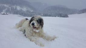Perro de ovejas hermoso que se sienta en la nieve Foto de archivo libre de regalías