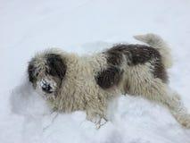 Perro de ovejas hermoso que se sienta en la nieve Fotografía de archivo libre de regalías