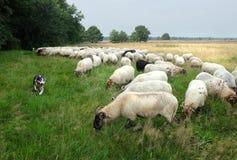 Perro de ovejas que reúne la demostración imagen de archivo