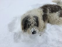 Perro de ovejas que se sienta en la nieve Fotos de archivo libres de regalías