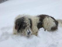 Perro de ovejas que se sienta en la nieve Imagenes de archivo
