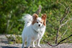 Perro de Papillon en el viento Imagen de archivo