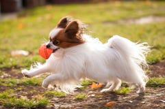 Perro de Papillon que juega con la bola al aire libre imagenes de archivo