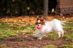 Perro de Papillon que juega con la bola al aire libre foto de archivo