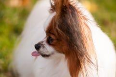 Perro de Papillon que mira algo, con la lengua sacada fotografía de archivo