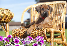 Perro de Papillon, retrato imagen de archivo libre de regalías