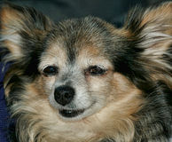 Perro de Pappilon Fotografía de archivo libre de regalías