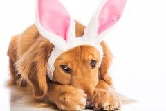 Perro de Pascua Foto de archivo libre de regalías