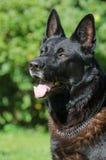 Perro de pastor Imagen de archivo libre de regalías