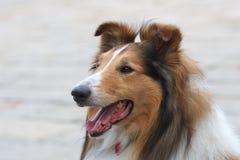 Perro de pastor Imágenes de archivo libres de regalías