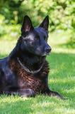 Perro de pastor al aire libre. Imágenes de archivo libres de regalías