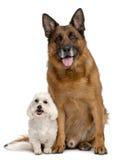 Perro de pastor alemán, 11 años, y malteses Imágenes de archivo libres de regalías