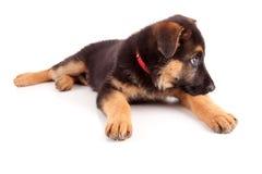 Perro de pastor alemán Foto de archivo