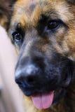 Perro de pastor alemán fotos de archivo libres de regalías