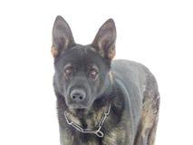 Perro de pastor alemán Imagen de archivo libre de regalías