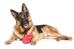 Perro de pastor alemán con el corazón rojo de la tarjeta del día de San Valentín Foto de archivo libre de regalías