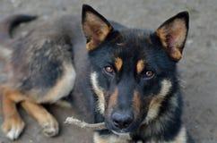 Perro de pastor alemán con los ojos tristes Fotos de archivo libres de regalías