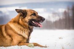 Perro de pastor alemán con una pelota de tenis fotos de archivo