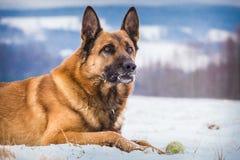 Perro de pastor alemán con una pelota de tenis imagen de archivo libre de regalías