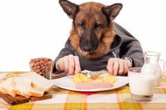 Perro de pastor alemán divertido con los brazos humanos y las manos, comiendo melés Fotografía de archivo libre de regalías