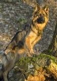 Perro de pastor alemán en bosque Imagen de archivo