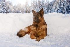 Perro de pastor alemán en la nieve, ` Ampezzo, Italia de la cortina D imágenes de archivo libres de regalías