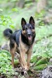 Perro de pastor alemán en la opinión del frontal del bosque foto de archivo